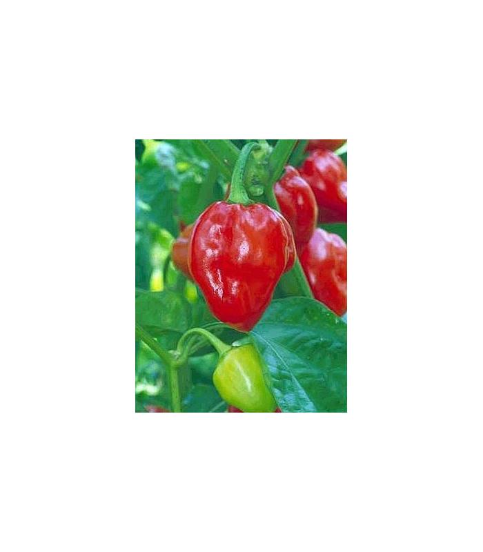 Chilli - Karibské červené - semena - 6 ks - Chilli