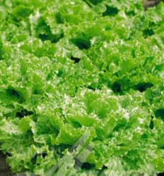 More about Salát k česání - semena Salátu - Lactusa sativa - 1 gr