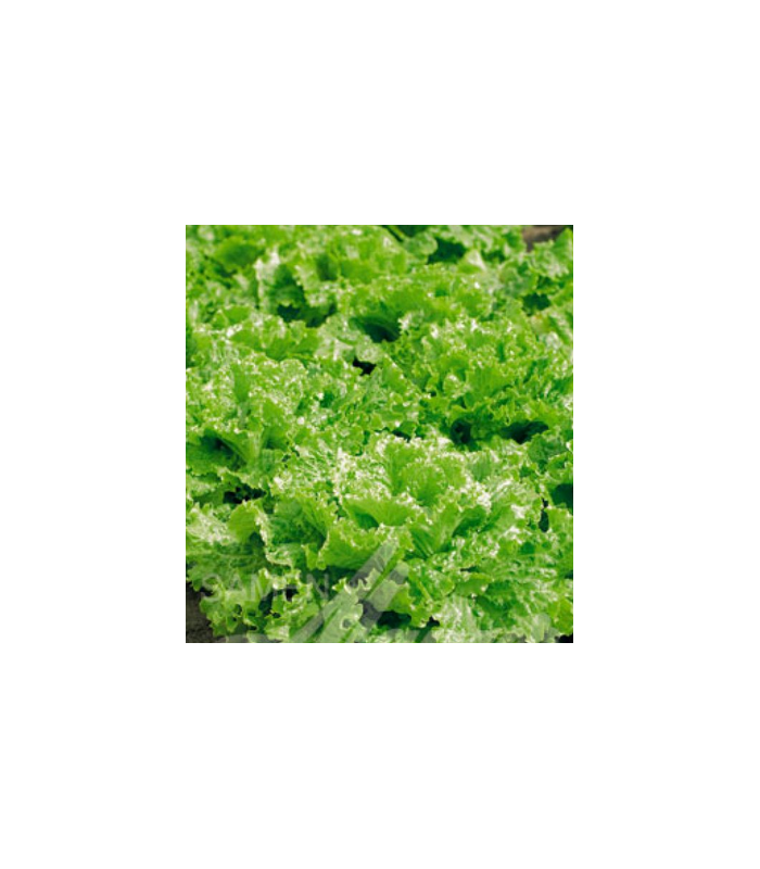 Salát k česání - semena Salátu - Lactusa sativa - 1 gr