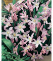 Ladonička růžová - Chionodoxa giant - cibuloviny - 5 Ks