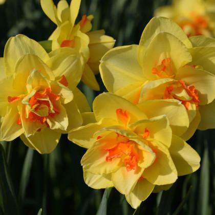 Narcis Tahiti - Narcissus L. - cibuloviny - 3 ks