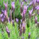Levandule francouzská  - Lavandula stoechas - semena - 0,02 gr