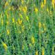 Řepík lékařský - semena řepíku - 20 ks - Agrimonia eupatoria