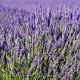 Levandule lékařská - semena Levandule - 130 ks - Lavandula angustifolia