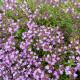 Mateřídouška - semena Mateřídoušky - 0,15 gr - Thymus serpyllum