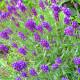 Levandule Ellegance Purple - Lavandula angustifolia - semena - 15 ks