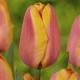 Tulipán Apricot Foxx - Tulipa - cibuloviny - 3 ks