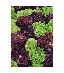 Salát kadeřavý - Fitnes mix - semena Salátu - Lactuca sativa - 100 ks
