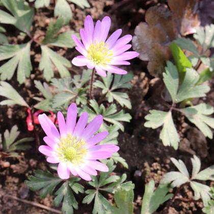 Sasanka Pink Star - Anemone blanda - cibuloviny - 3ks