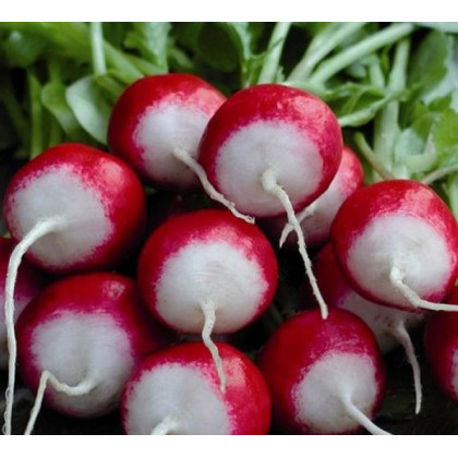 Ředkvička červenobílá - semena Ředkvičky - Raphanus sativus - 0,5 gr