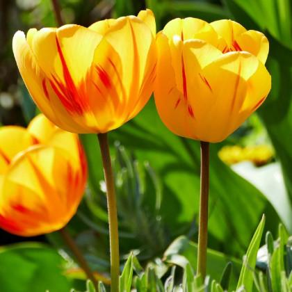 Tulipán Washington - Tulipa - cibuloviny - 3ks