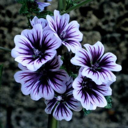 Sléz lesní Zebrina - Malva sylvestris - semena slézu - 50ks