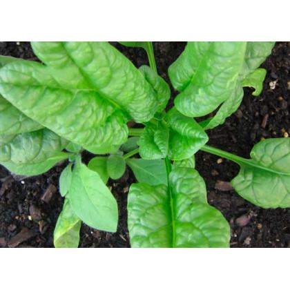Tabák Green wood - semena Tabáku - Nicotiana tabacum - 25 ks