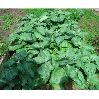 Tabák indiánský slavnostní - semena Tabáku - Nicotiana rustica sacred - 50 ks