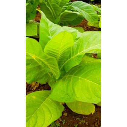 Tabák Madole SPECIÁL - semena Tabáku - Nicotiana tabacum - 20