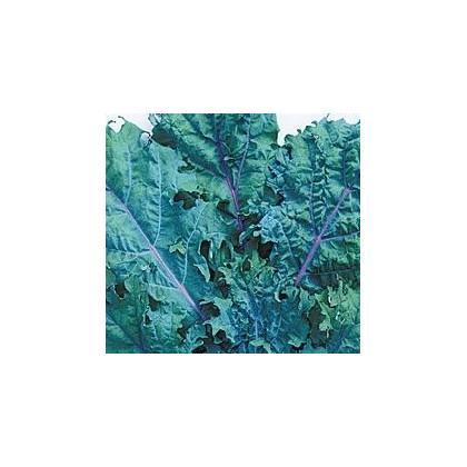 Kedluben červený ruský - semena Kedlubnu - Brassica oleracea - 0,5 gr