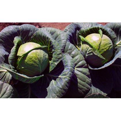 BIO Červené zelí Marner - bio semena Zelí - bio osiva Brassica oleracea - 0,3 gr