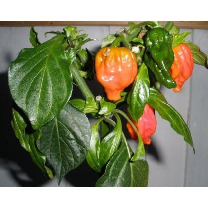 Chilli Dorset Naga - semínka Chilli papriček - Capsicum chinense - 6 ks