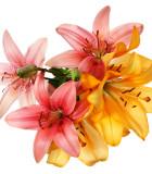 Jarní/podzimní cibuloviny