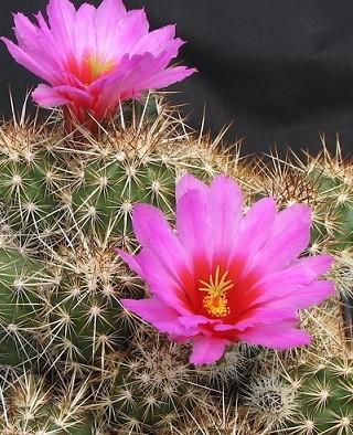 Kaktus Echinocereus mix - semena Kaktusu - 4 ks