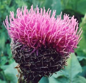Maralí kořen - semena Leuzei - 1,5 gr - Leuzea carthamoides