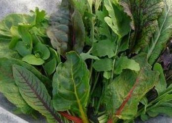 Mix asijských salátů - semena salátu - 0,1 gr