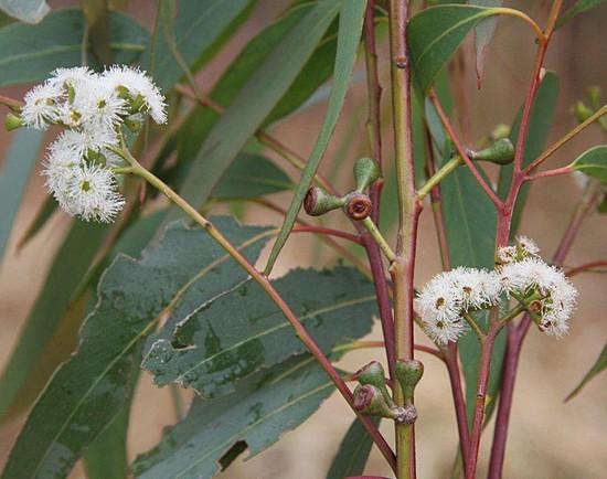 Eukalyptus Kampanulata - semena - 7 ks - Eucalyptus Campanulata