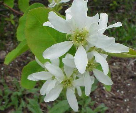 Muchovník olšolistý - semena Rozinkovníku - Amelanchier alnifolia - 7 ks