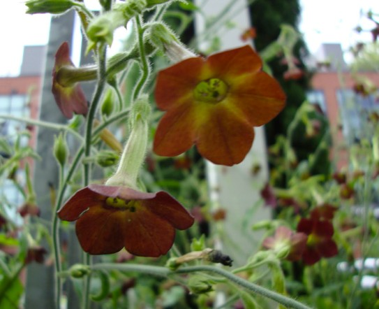 Tabák Hnědý List - semena Tabáku - Nicotiana tabacum - 25 ks