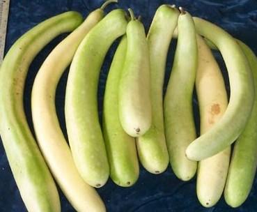 Indická okurka - Lagenárie dlouhá - semena Okurky - Lagenaria siceraria longissima - 7 ks
